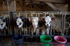 Pericolul ascuns în carnea de consum. Utilizarea excesivă a antibioticelor în creşterea animalelor sporeşte răspândirea unui fenomen care face ravagii la nivel mondial