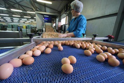 ALERTĂ alimentară. Peste 4 milioane de OUĂ CONTAMINATE cu Fipronil, găsite la o fermă din Teleorman