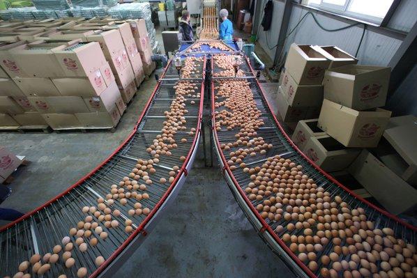 Ouă contaminate cu fipronil, la o fermă avicolă din judeţul Olt
