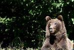 Cluj: 12 vaci şi patru oi, ucise de urşi în comunele Mărişel şi Măguri Răcătău, primarii cer ajutor
