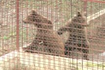 Leii şi urşii lui lui Nuţu Cămătaru, mutaţi de Garda de Mediu la ZOO