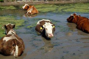 Boala limbii albastre la bovine şi ovine, confirmată şi în două localităţi din Prahova