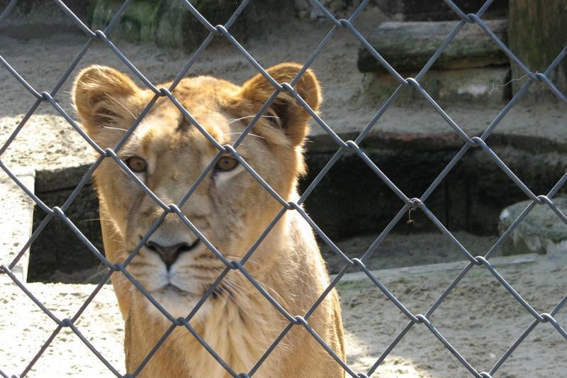 Un copil de 11 ani a fost ranit de o leoaica la Parcul Zoo din Radauti. Politia a deschis o ancheta