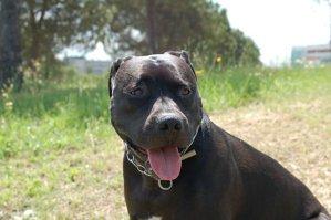 A fost ucisă de câinele său din rasa Pitbull, în timp ce îi dădea mâncare