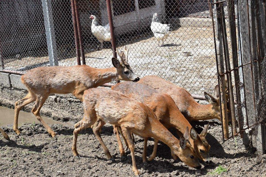 Un braşovean ţinea captive cinci căprioare. Poliţiştii i-au făcut dosar penal