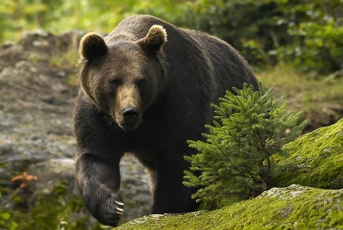 Cioban în vârstă de 17 ani, rănit grav de urs în Munţii Retezat în timp ce încerca să-l alunge de la stână