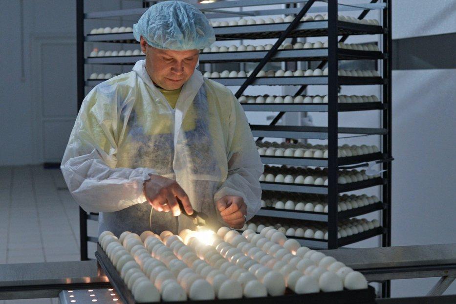 Ouăle contaminate cu insecticid au ajuns în România. Ce este Fipronil-ul şi ce efecte medicale severe are dacă e ingerat de om