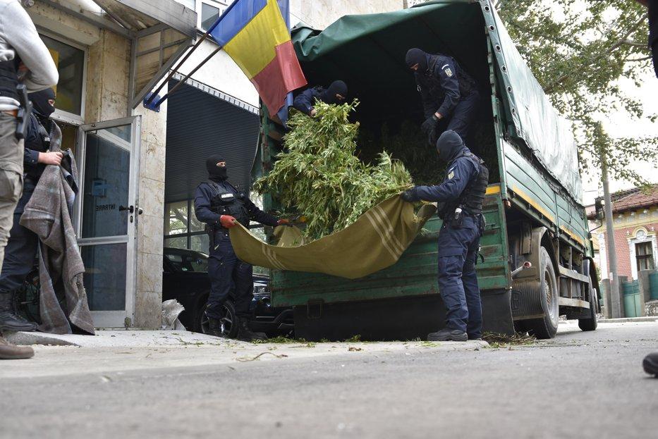 Cum se deghizau poliţiştii din Arad pentru a avea grijă de cultura lor de cannabis, până să fie prinşi în flagrant