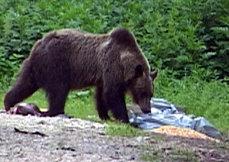 11 urşi au coborât în Buşteni. A fost nevoie de intervenţia jandarmilor pentru a-i goni