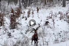 Imagini rare cu patru cerbi, surprinse într-o pădure din Caraş-Severin. Un VIDEO de colecţie