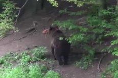 Un copil de 9 ani, trimis cu vacile la păscut, în spital, după ce a fost atacat de un urs