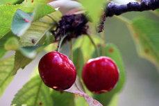 ANSVSA avertizează: Cu ce sunt infestate cireşele pe care încearcă să le retragă de pe piaţă