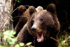 INVAZIA URŞILOR. Primarul din Azuga: Urşii circulă pe străzi ŞI ZIUA. Se plimbă prin oraş, la cimitir, prin curţi...