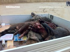 Pesta porcina africană se extinde. Trei focare noi în Insula Mare a Brăilei. Peste 3.000 de porci au fost sacrificaţi