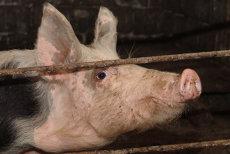 Pesta porcină NU afectează oamenii! În cele 524 de focare din ţară au fost ucişi 49.816 PORCI