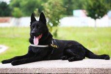 Câine POLIŢIST care depistează DROGURI, la festivalul UNTOLD de la Cluj Napoca