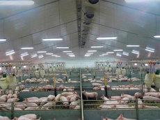 ANSVSA: Despăgubiri de 148.140 lei pentru pesta porcină. Urmează alte 2 milioane de lei