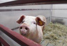 Localnicii unei comune ALUNGĂ autorităţile venite să eutanasieze porcii cu pestă