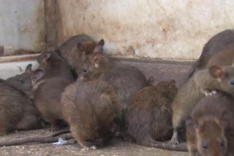 Mai mulţi şobolani, filmaţi lângă Primăria Arad. USR: Avem un FOCAR DE INFECŢIE, un RISC pentru sănătatea publică