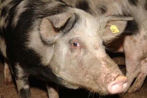 Lider PNL: Pesta porcină africană, răspândită de oameni NEINFORMAŢI şi FĂRĂ ÎNCREDERE în autorităţi. Un europarlamentar cere 110 MILIOANE DE EURO de la UE pentru fermierii afectaţi