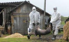 Alertă în Botoşani. Toate produsele alimentare, CONFISCATE şi DISTRUSE la graniţă, din cauza pestei porcine