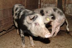 MAE atenţionare de călătorie: Bulgaria ia măsuri la frontiere privind PESTA porcină africană. Ce site-uri trebuie să consulte românii