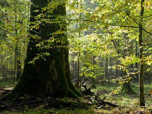 Greenpeace România lansează o aplicaţie pentru SALVAREA PĂDURILOR din România. Oricine poate MONITORIZA prin satelit unde SE TAIE ILEGAL