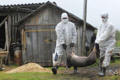 Comisia Europeană, AUDIT DE URGENŢĂ despre pesta porcină africană din România. 726.000 de euro pentru despăgubiri de 12 milioane?