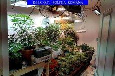 Un bărbat din Dâmboviţa cultiva sute de plante de CANABIS. Soluţia la care s-a gândit bărbatul pentru a nu fi PRINS