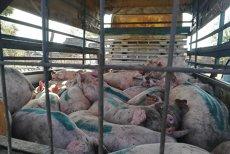 Virusul pestei porcine africane NU poate fi oprit. Despăgubiri de 42 de milioane de euro, PÂNĂ ACUM