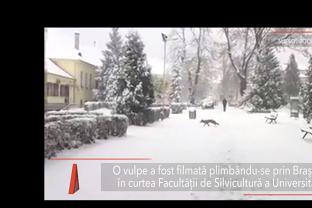 VULPE filmată plimbându-se prin BRAŞOV, în curtea Universităţii Transilvania