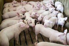 Epidemia de Pestă porcină africană nu se opreşte. Peste 200 MILIOANE DE LEI, despăgubiri pentru porcii UCIŞI
