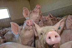 Carnea de porc, MAI IEFTINĂ în zonele afectate de PESTĂ PORCINĂ: Negociem. Le e frică şi oamenilor să cumpere