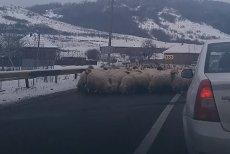 Drum european BLOCAT de o turmă de oi. Mioarele LINGEAU SAREA de pe asfalt