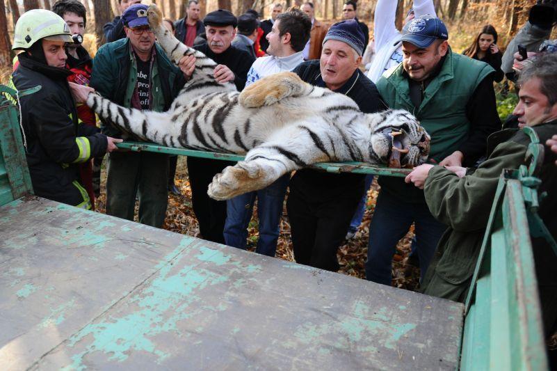 GALERIE FOTO. Tigrul împuşcat în Sibiu