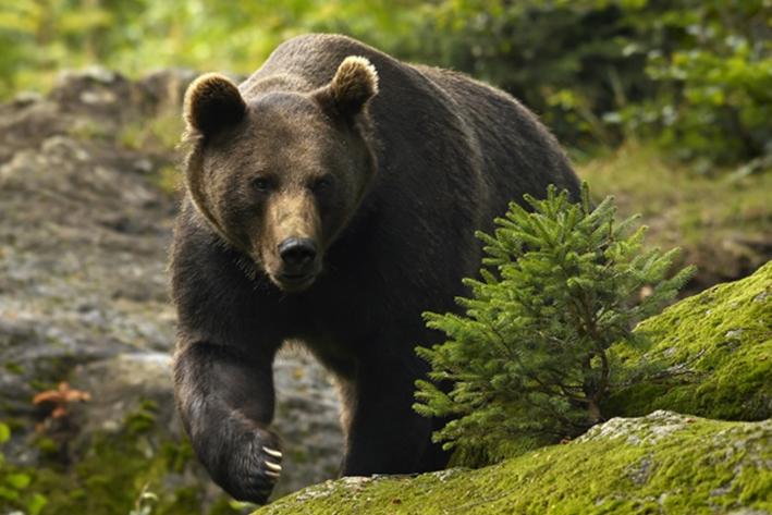 Alertă în Buşteni. Un urs lovit de maşină s-a refugiat în pădure şi poate fi agresiv