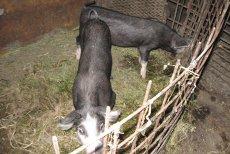 Virusul pestei porcine africane, oprit prin CARANTINĂ SEVERĂ. Scapă cine poate, dar fermele disciplinate pierd MILIOANE DE EURO