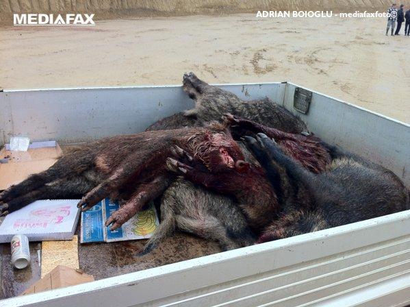 Porci mistreți împușcați la vânătoare