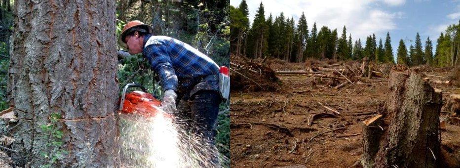MARELE MISTER DIN PĂDURE: în ciuda DEFRIŞĂRILOR SĂLBATICE, avem mai multe păduri decât acum 10 ani. EXCLUSIV