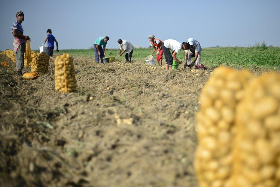 Producem mai mult decât mâncăm, însă importăm la preţuri duble cartofi din străinătate. Care este motivul