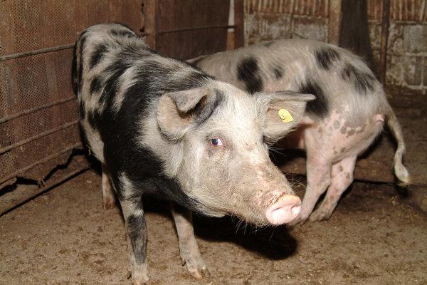 Porci afectați de pesta