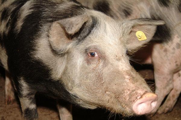 Porci afectaţi de pesta