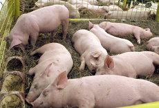 DESPĂGUBIRILE pentru pesta porcină africană. Cum se calculează sumele cuvenite