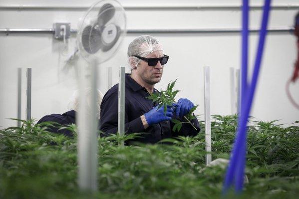 Legalizarea MARIJUANEI, o afacere profitabilă pentru Canada....