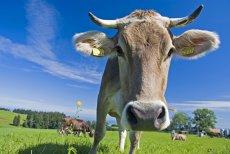 FĂRĂ COARNE! Elveţienii nu vor să plătească pentru coarnele vitelor