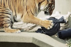 Tigrul de pluş al lui Darius Vâlcov