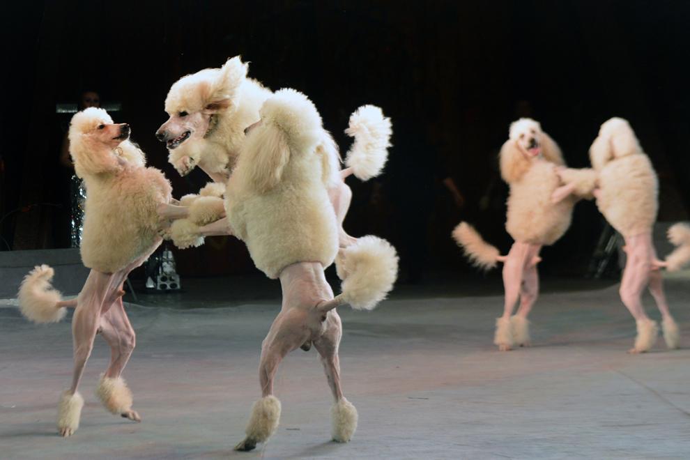 Un artist al Circului de Stat din Ucraina prezintă noul spectacol cu câini, în Kiev, joi, 24 ianuarie 2013.