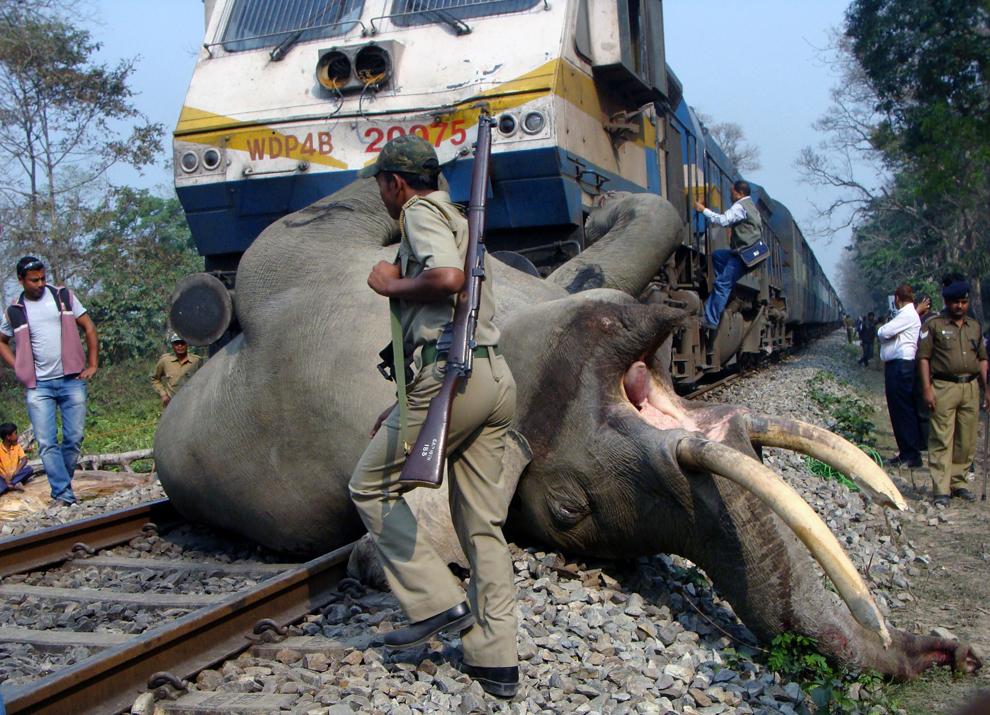 Un pădurar indian trece pe lângă corpul unui elefant cu fildeşi, după ce acesta a fost lovit de trenul expres Guwahati-Somporkkranti, în Rezervaţia de Tigri Buxa, la 12 km de Alipurduar, marţi, 5 martie 2013.