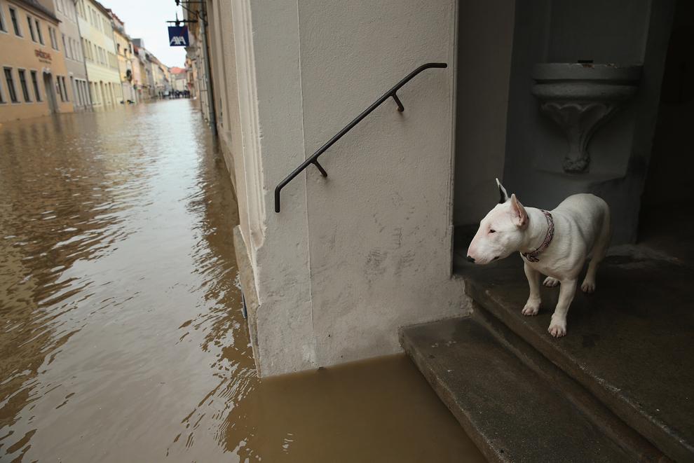 Un câine priveşte din cadrul uşii strada inundată din centrul istoric al oraşului Pirna, Germania, marţi, 4 iunie, 2013.