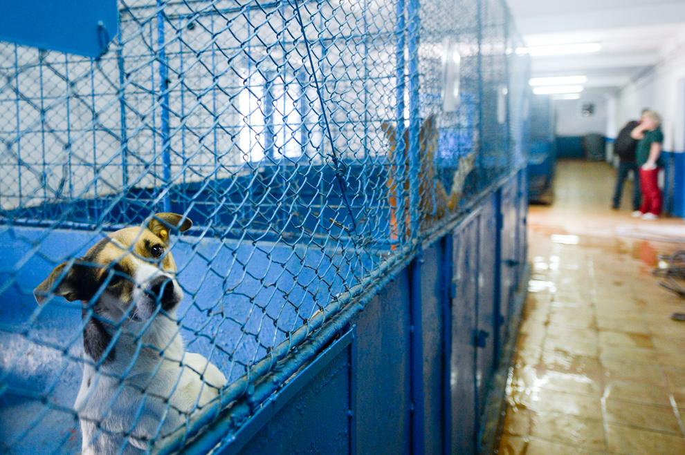 Câini stau în cuşti, în adăpostul Pallady, în Bucureşti, miercuri, 9 septembrie 2013.